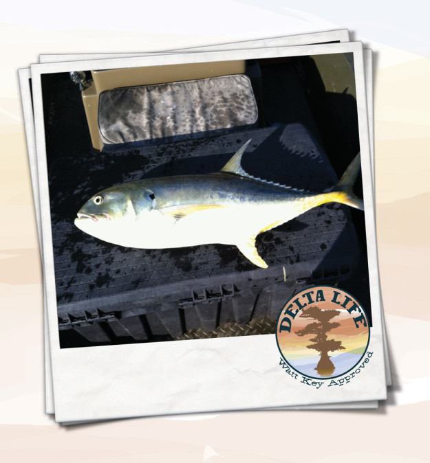 how to clean a jack crevalle